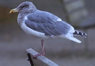 Thayer's Gull (TC)