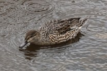 Green-winged Teal (f) (TC)