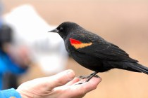 Red-winged Blackbird (DM)