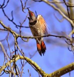 Northern Flicker (GB)