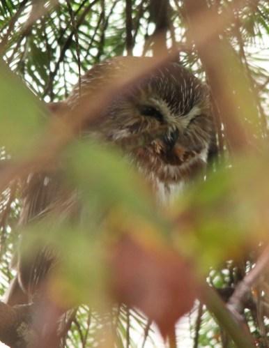 Saw-whet Owl (JK)