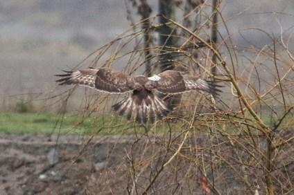 Rough-legged Hawk (tag R8) (TC)