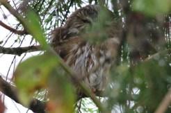 Saw-whet Owl #3 (TC)