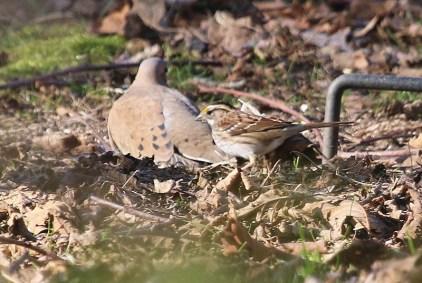 White-throated Sparrow (TC)
