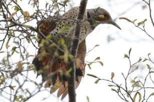 Northern Flicker (DM)