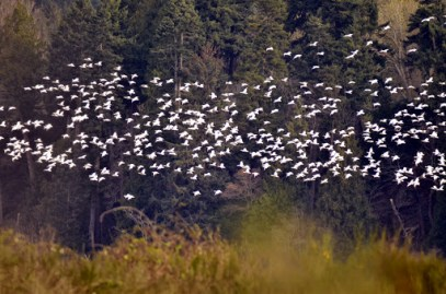 Snow Goose flock (GB)