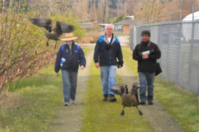 advance party Anne, Wayne & Alberto walk inner ponds with 2 Canada Geese (KB)