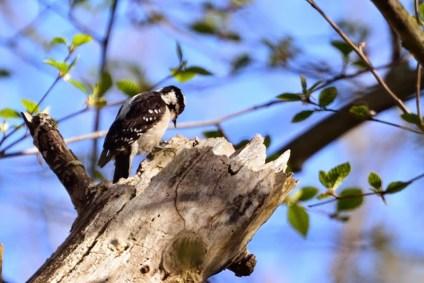 Downy Woodpecker (DM)