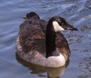 Canada Goose (P&A)