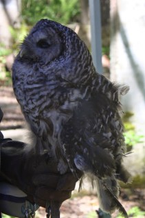Barred Owl from OWL (TC)