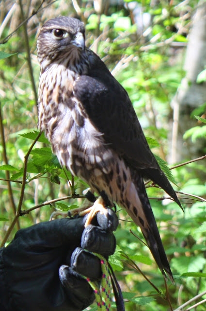 Merlin from OWL (TC)
