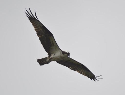 Osprey (GB)