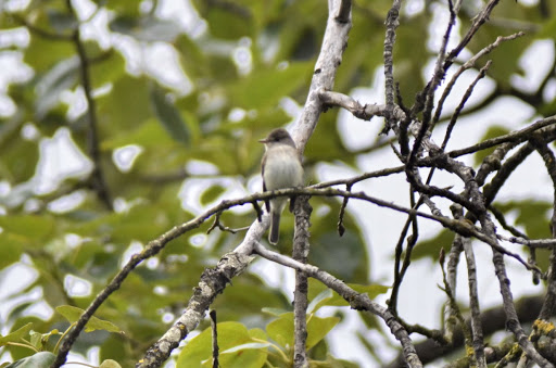 Willow Flycatcher (GB)