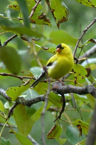 American Goldfinch (MS)