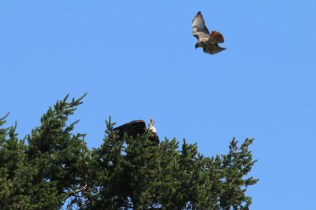 Bald Eagle/Red-tailed Hawk (TC)