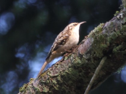 Brown Creeper (JM)