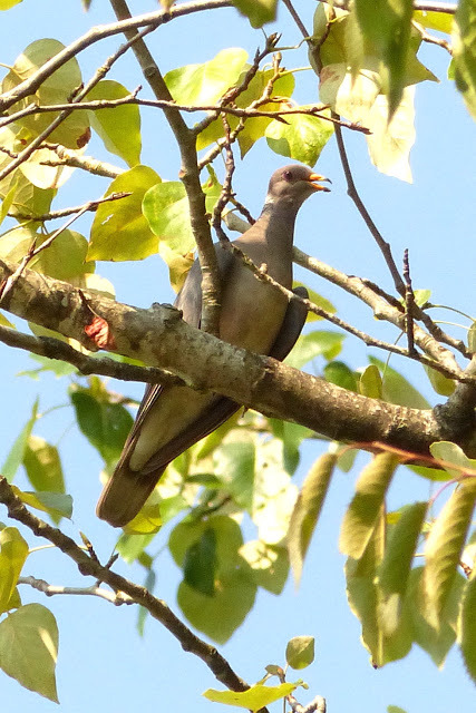 Band-tailed Pigeon (MS)