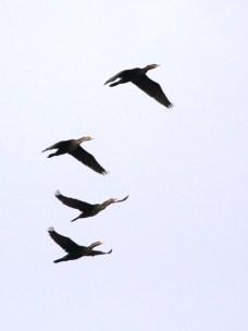 Double-crested Cormorants (JM)