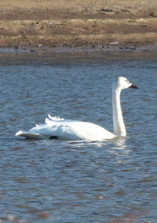 Trumpeter Swans (JK)