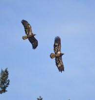 Bald Eagle juvs. (GB)