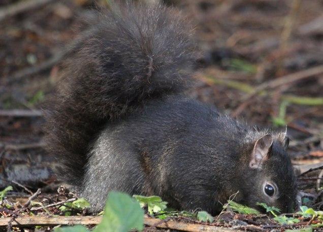 Squirrel (MS)