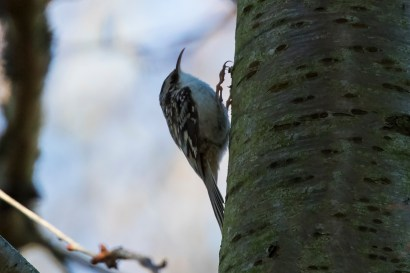 Brown Creeper (P&A)