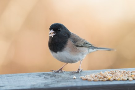 Dark-eyed Junco (P&A)
