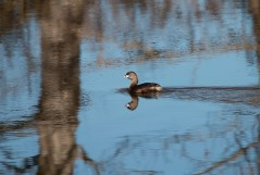 Pied-billed Grebe (P&A)