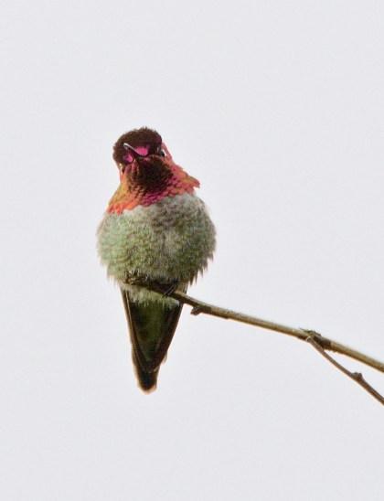 Anna's Hummingbird (m) (BA)