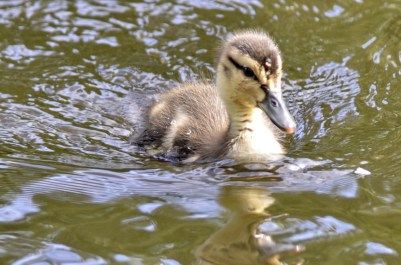 Mallard duckling (GB)