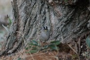 White-crowned Sparrow (PS)