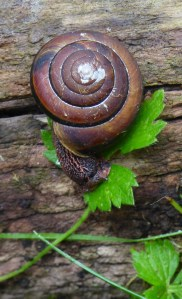 Pacific Side Band Snail (RM)
