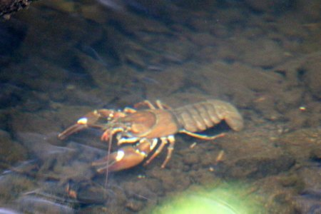 Crayfish (TC)