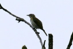 Red-eyed Vireo (TC)