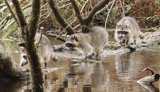 Raccoons (PS)