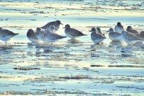 Black-bellied Plover (BA)