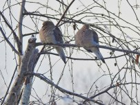 Mourning Doves (GB)