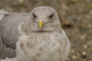 Glaucous-winged Gull (JMacD)