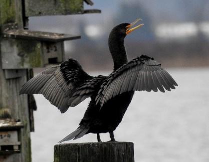 Double-crested Cormorant (BA)