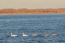 Trumpeter Swan family (JK)