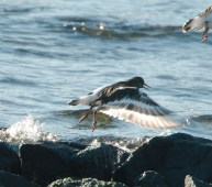 Black Turnstone (PS)