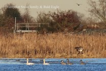 Trumpeter Swan family & Bald Eagle (TC)