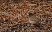 Dark-eyed Junco (PS)