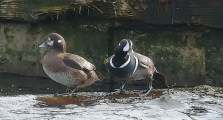 Harlequin Duck pair (PS)