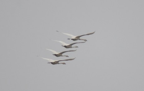 Trumpeter Swans (GB)