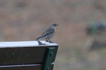 Mountain Bluebird f. (TC)