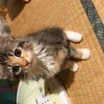 メインクーンの子猫!