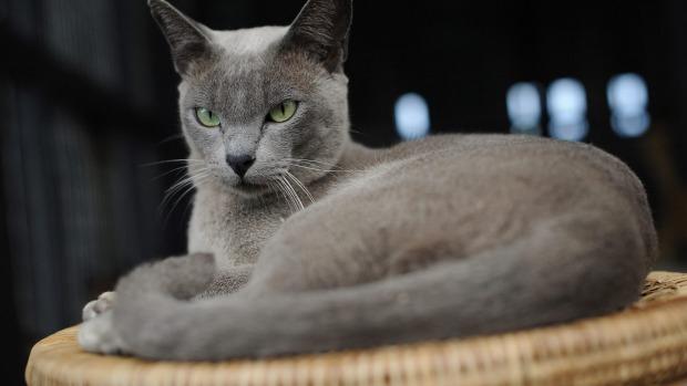 Diese 11 Katzenrassen Eignen Sich Hervorragend Für Allergiker