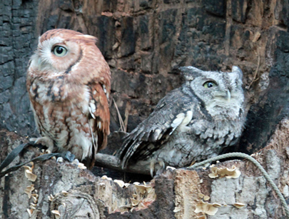 Image result for screech owl