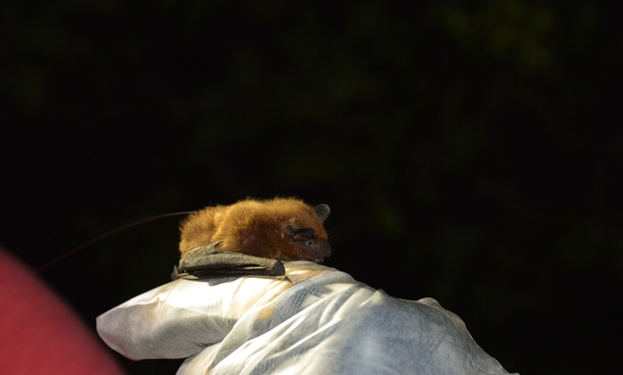 A close up of an evening bat, the first new bat species found in Wisconsin in more than 60 years.